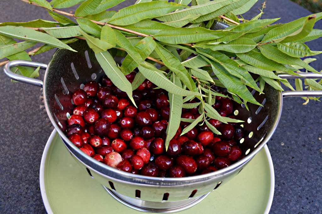 Pick over and wash the cranberries and lemon verbena.