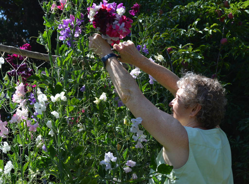 Frances cutting Sweet Peas