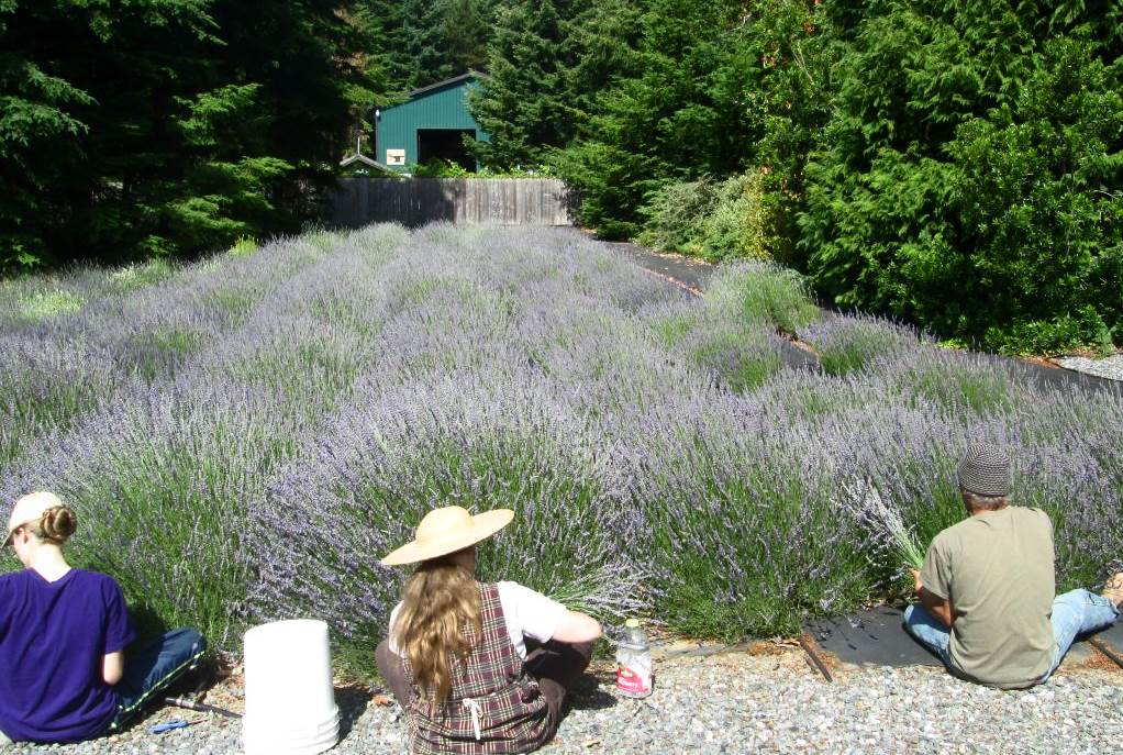 Harvesting at The Lavender Lady Farm